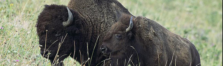 Ed Boks and buffalo