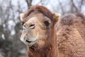 Ed Boks and Dromedary Camel