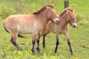 Ed Boks and Przewalski Horse